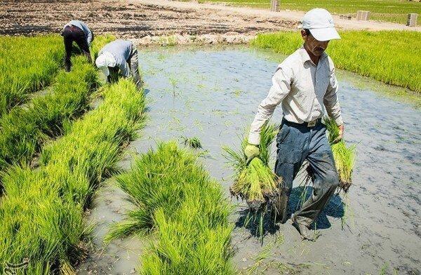 نجات برنجکاری خوزستان با وقوع سیلاب ها